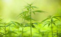 Efterhånden som flere stater i usa legalisere,  falder unges problemer brugen af cannabis